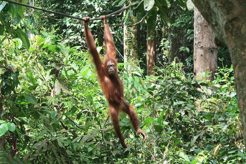 1sepilok orangutan